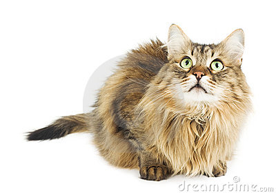 Fluffy cat looking up. Round eyes. Isolated