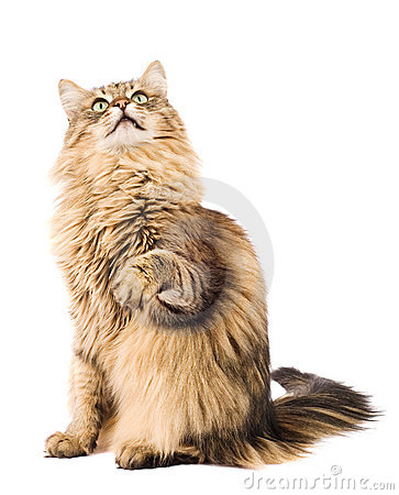 Fluffy cat raising paw. Isolated on white