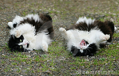 Fluffy cat roll over