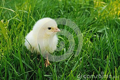 Fluffy chick looking