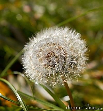Fluffy dandelion on green