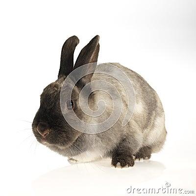 Fluffy domestic rabbit