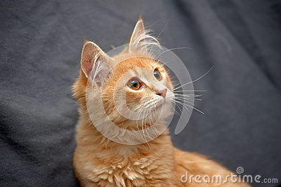 Fluffy ginger cat on a gray background