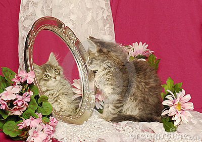 Fluffy Grey Kitten Looking at Own Image in Mirror