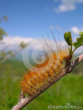 Free Fluffy Orange Caterpillar Royalty Free Stock Images - 11260709