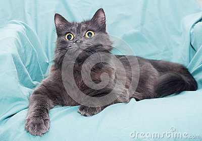 Fluffy smoky black cat with yellow eyes
