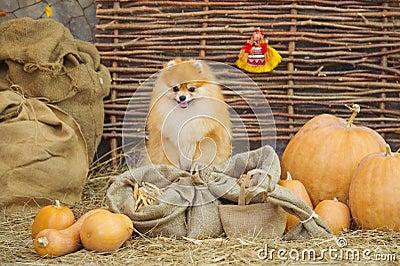 Fluffy spitz dog and pumpkins