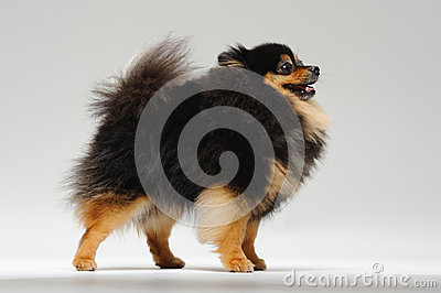 Fluffy spitz standing