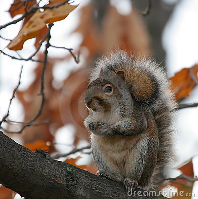 Fluffy squirrel