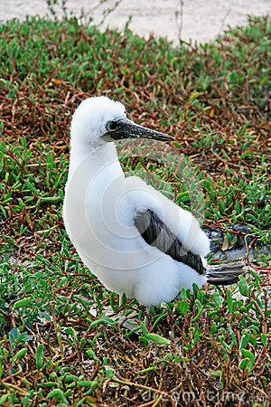 Fluffy white blue-footed booby chick