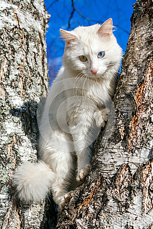 Free Fluffy White Cat With Different Eyes Royalty Free Stock Photography - 36904477