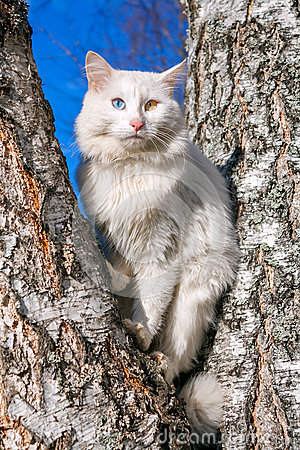Free Fluffy White Cat With Different Eyes Stock Photography - 36904522