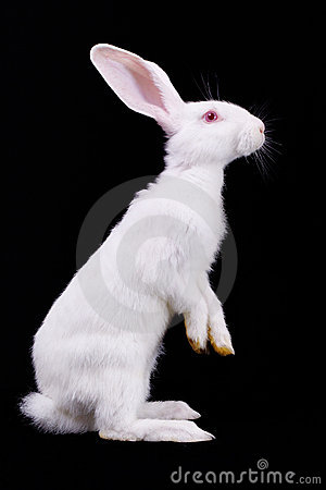 Free Fluffy White Rabbit Stock Images - 15777104