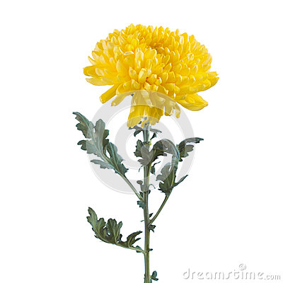 Free Fluffy Yellow Flower Chrysanthemum Stock Images - 58786614
