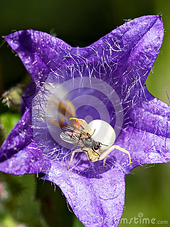 Fluga på en spindel