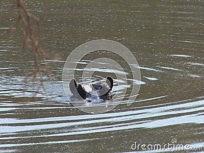Flusspferd, das in den Sambesi schwimmt stock video footage