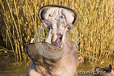 Flusspferd-Gegähne