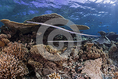 Flute fish over hard coral reef
