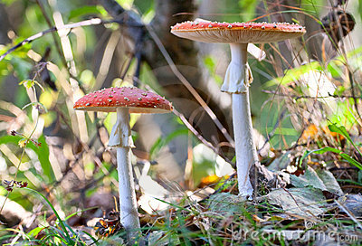 Fly amanita mushrooms