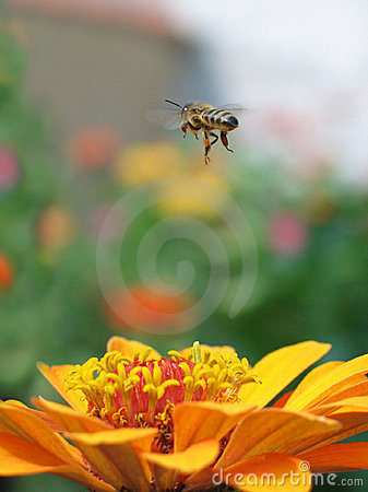 Free Fly Bee Stock Images - 23144