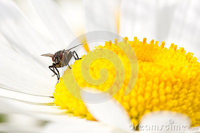 Fly  on the blooming daisy