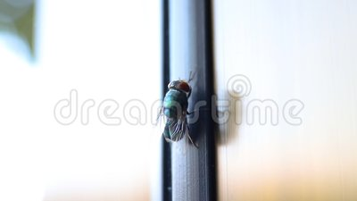 House fly. The fly cleans its paws. the fly washes. Entomology. macro shot stock video