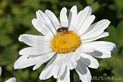 Fly on a daisy