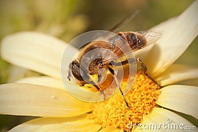 Fly on daisy flower