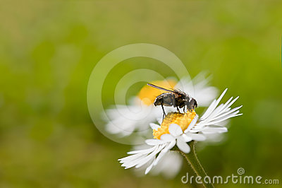 Fly On Daisy Flower