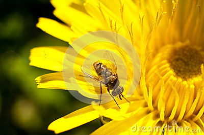 Fly on a dandelion