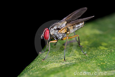A fly, diptera on green leaf