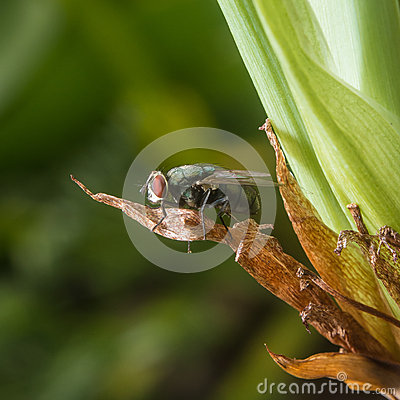 Fly on a dry leaf