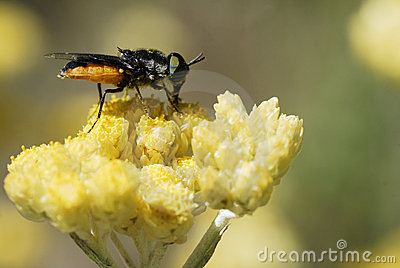 Fly feeding on yellow flower