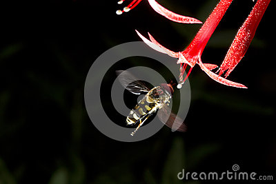 Fly in flight with Scarlet Gilia