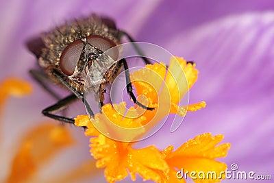 Fly on flower blossom
