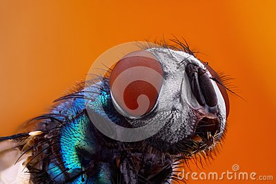 fly at high magnification taken with macro objective