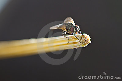 Fly hold on bamboo chopstick