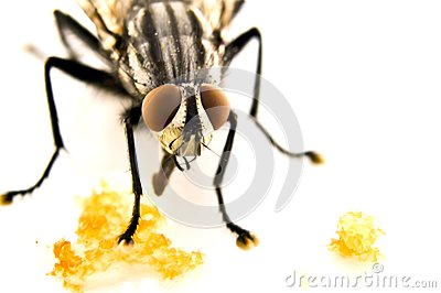 Fly home (Musca domestica)