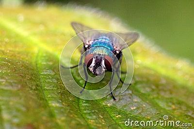 Fly On A Leaf Macro