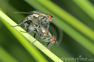 Fly mating