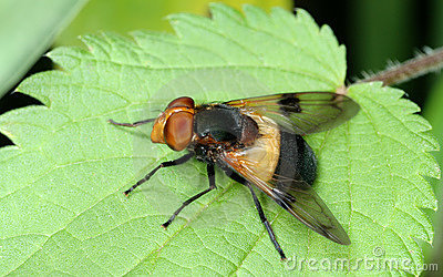 Fly on nettle leaf
