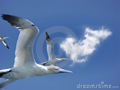 Fly of northern gannets
