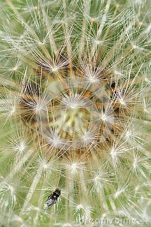 Free Fly On A Dandelion Stock Images - 115951954