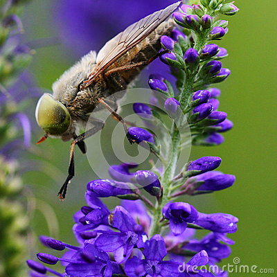 Free Fly On Wild Flower Royalty Free Stock Photo - 43399095