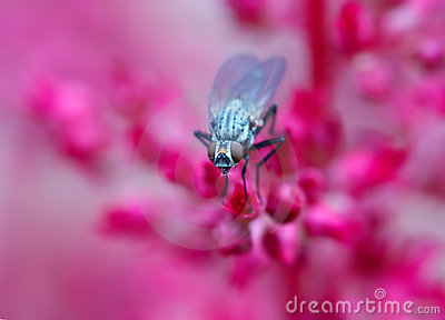 Fly on red flowers