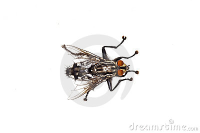 Fly, Sarcophaga carnaria L.