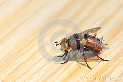 Fly on tabletop