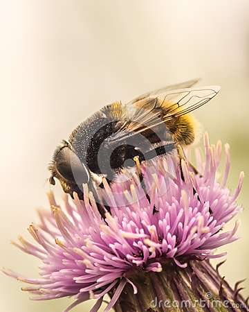 Fly Of A Thistle Flower