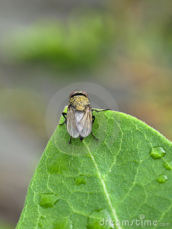 Fly on a wet leaf