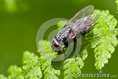 Fly on wet leaf